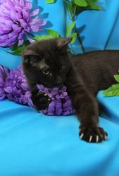 Шоколадный-отпадный Фидель,  котенок-хамелеон),  10 месяцев