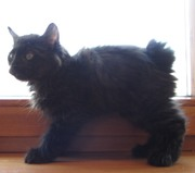 Курильский бобтейл. Чистопородные котята.
