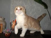 Шотландский вислоухий котенок с документами