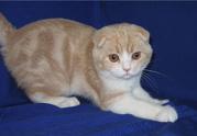 Клубный шотландский вислоухий котенок