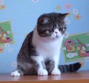 котята экзоты плюшевые малыши