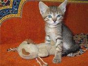 Чудные котята,  1 мес,  в добрые руки