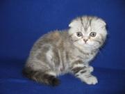 Шотландский вислоухий котенок (девочка) с документами
