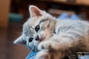 продается шотландская голубая мраморная девочка котенок,  привита,  Киев