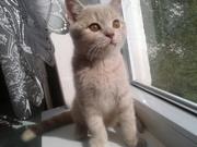 Котята породы британская короткошерстная.