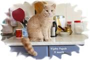 Кремовые британские котята от интерчемпионов,  получили Best