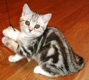 Сладкий котенок Арбузик! Крупный и имеет очень четкий рисунок,  (ns 22)