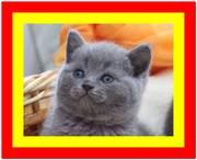 Британский котенок,  британец купить