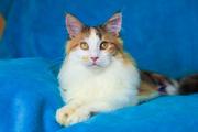 Купить котенка мейн кун трехцветного окраса,  Киев
