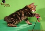 Элитные котята курильского бобтейла! Шоу-класс!