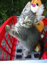 Отдам даром котят хорошим людям