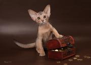 Абиссинский котенок(шоу-класс) - американский тип,  питомник Sunrisе