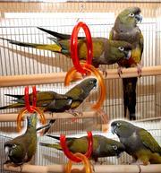 Патагонский попугай,  длиннохвостый,  невероятно красивый