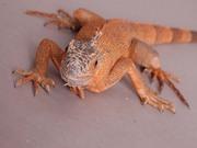 Игуана обыкновенная (Iguana iguana RED) красная морфа