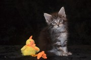 Котята мейн кун от питомника Amerkun