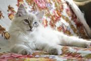 Очаровательные невские маскарадные котята