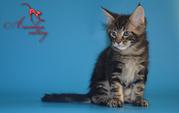 Шикарные котята мейн кун