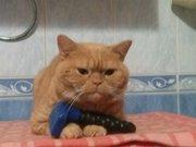 красный табби приглашает на вязку вислоухих кошек