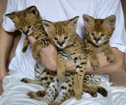 африканский сервал,  ручные котята