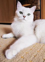 Элитные котята Британская шиншилла