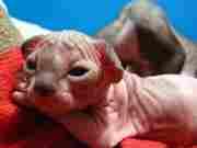 Две кошечки канадского сфинкса