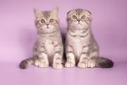 Продаются шотландские котята,  с документами и ветеринарными паспортами