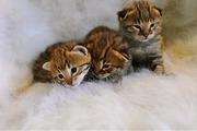 Саванна,  Бенгалия и Марги и оцелот котят