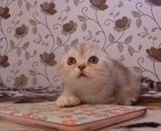 Продается шоколадная мраморная кошечка от чемпиона,  котенок шикарного