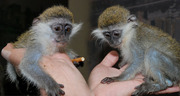 Домашние карликовые обезьянки