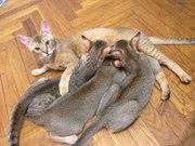 котята чаузи от камышового кота