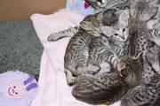зарегистрированные Саванна котята