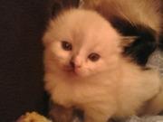 Продам котят Балинез