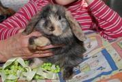 Карликовый декоративный кролик вислоухий баранчик с разным типом шерст