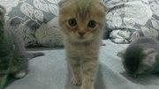 Продам Шотландских вислоухих котят (скоттиш фолд)