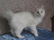 Курильский бобтейл - котята