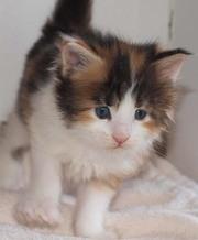 Красивые котята мейн кун