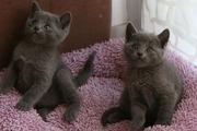 Русская голубая котенок
