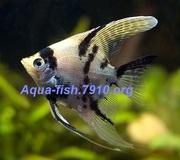 Интернет-магазин Aqua-fish.7910.