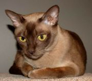 Продаю Европейскую Бурму,  молодой котик