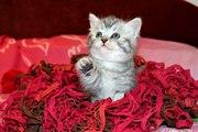 Шотландский котенок - лучший подарок к новогодним праздникам