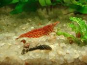 Вишневые креветки - черри