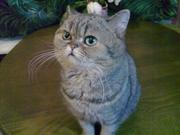 Шикарный Британский кот.  Вязка