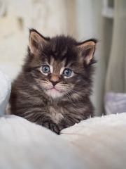 Мейн-кун котята. Самая крупная домашняя кошка!