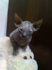 Продаю котят донского сфинкса