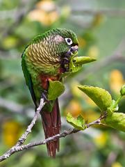 Попугайчики Пиррура – для обучения разговору