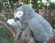 Попугай Жако говорун