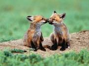 Домашня рижа європейська лиса щенята