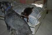 Ручные домашние щенки енота полоскуна