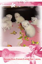 белые и колорные вислоухие котята