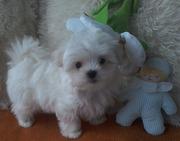 Кобельки – щенки мини мальтезе,  возраст- 2, 5 месяца.